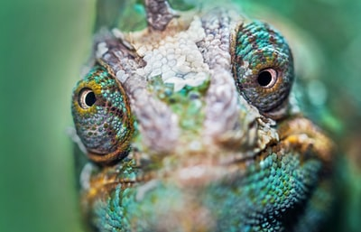 How to handle a new earless, leather-clad monitor lizard